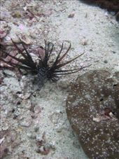 Isnt he beautiful Black Lionfish I think it was a baby - 3rd dive Hin Bida 13/04/07: by kelly, Views[195]