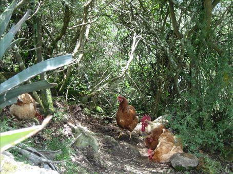 pollos!!! (chickens)