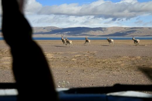 Run, Enjoy Your Life in the Heaven - Tibetan Antelopes