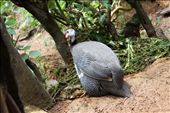 Guinea fowl: by kendal00, Views[359]