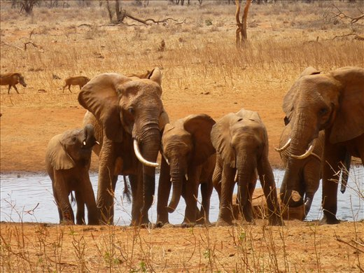 family of red Tsavo elephants at the water hole