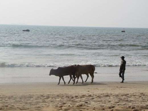 random cows walking along the beach