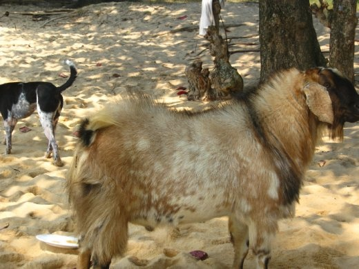 the goat that lives on bamboo island