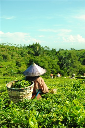 a woman doing the uprooting of tea-buds and put off the tea in her back
