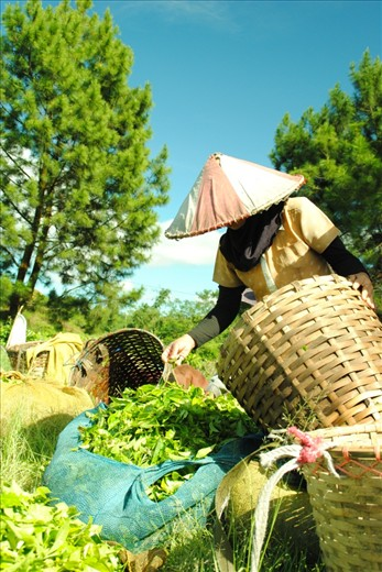 before collecting the tea-buds, the farmer have to filtering the good one