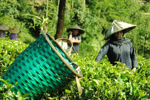 While the farmer pick the tea-buds, the basket is put off above the tea plants