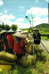 a collector of tea always come everyday,the farmer will get the payment after it: by kikifadila, Views[250]