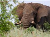 Big elephant at dawn: by kimbob26, Views[124]