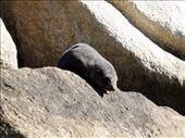 Baby seal: by kimbob26, Views[104]