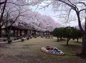 A pretty view of Cherry Blossoms on Atsugi Navy base: by kimdelacreme, Views[1054]