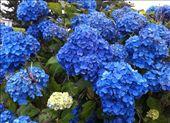 Blue Hydrangeas: by kimdelacreme, Views[224]