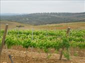 Day 11: Vineyards on The Way to Aljucen: by kimlyons, Views[98]