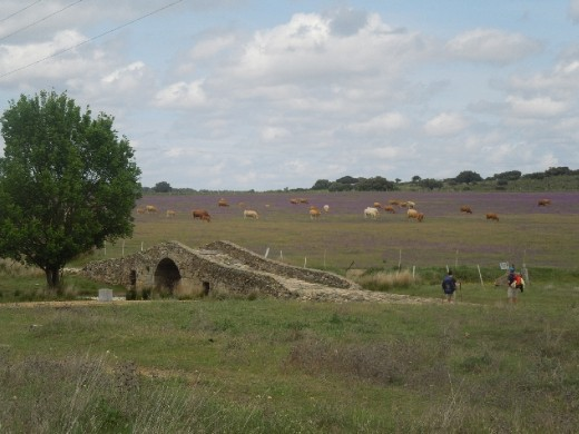 Romanic bridge with lavendar field and grazing cattle in the distance