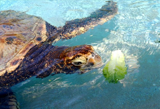 Coming across luch time of a sea turtle in Hawaii, Jan. 28, 2013.