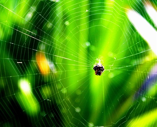a great gossamer cobwebs, in the bush in Hawaii