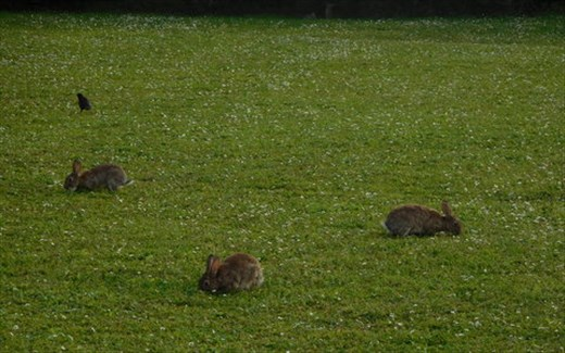 Rabbits of Deauville
