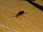 Rocky the cockroach my room companion: by kirstenroche, Views[154]
