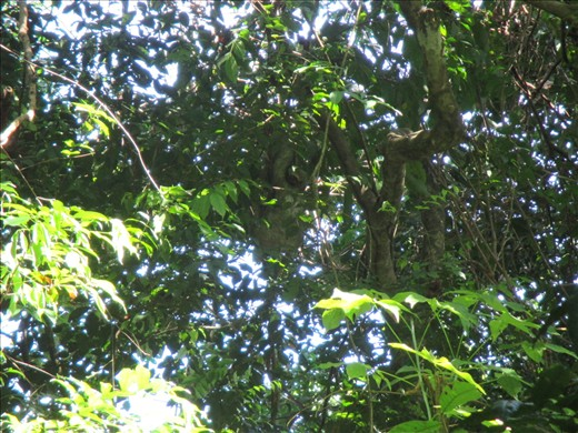 Here's a challenge: spot the sloth in this picture. Manuel Antonio National Park