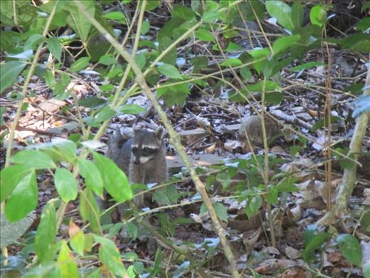 Raccoon, Manuel Antonio National Park