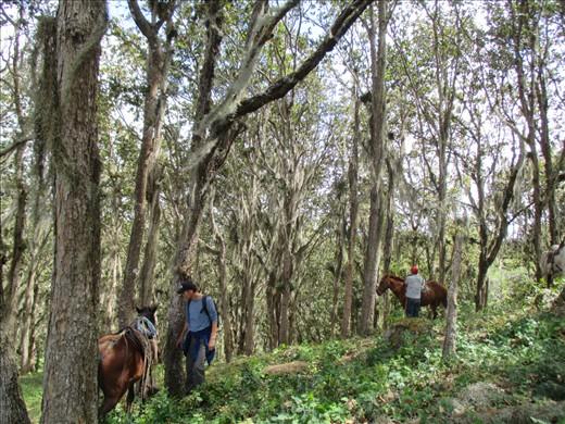 Horse riding through bearded oak forest, Mirador
