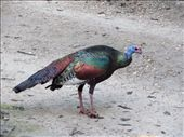 An Ocellated Turkey (Meleagris ocellata) at Tikal site.  So many colourful birds. : by kirstykay, Views[666]