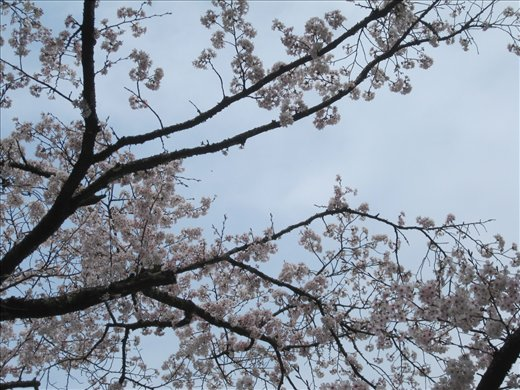 The cherry blossoms have started to come out