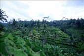 Rice Terraces on our way to Batur: by kittben, Views[190]
