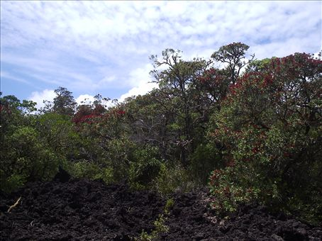 A view of some pohutakawa trees on Rangitoto as well as the black lava rock on the ground.