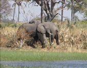 Elephants in the Okavango Delta: by kiwigypsy, Views[270]