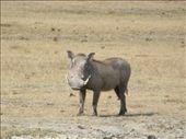 Warthog in Ngorongoro Crater: by kiwigypsy, Views[239]