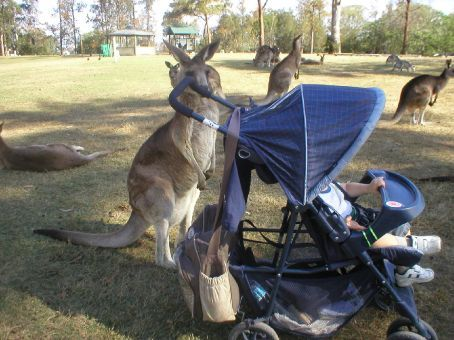 Our first adventure with SB, at 16 months! We automatically fell under the charm of Australia. First for a week in Perth and then on to Brisbane for three weeks for our first home exchange!  The pictures are from the Woolshed and the Lone Pine Koala Sanctuary
