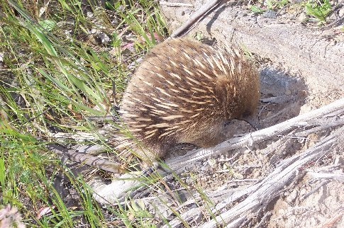 Echidna on roadside