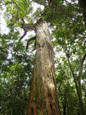 The great Totara tree, spirit cousin to my beloved redcedar, used for canoes among other things: by kristamrome, Views[603]