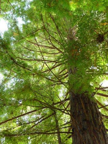Totara tree, I think, at the Waitomo glowworm caves