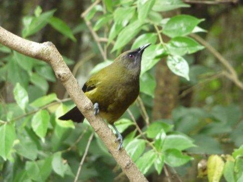 Bellbird, my favorite