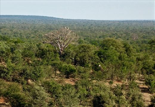 Giraffe behind the bush near the Vulture tree