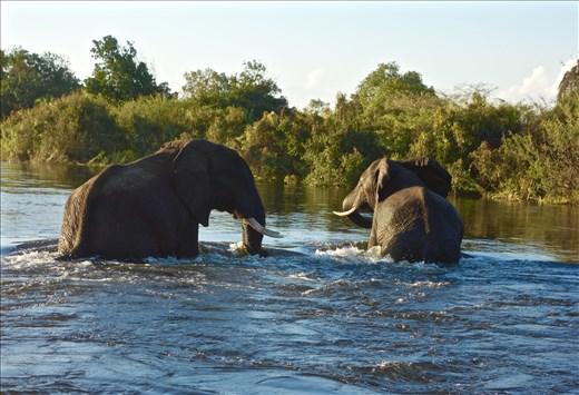 Elephants playing in the Zambezi