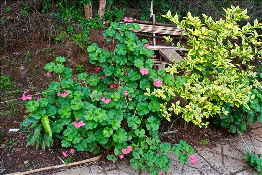 huge geraniums on the shore