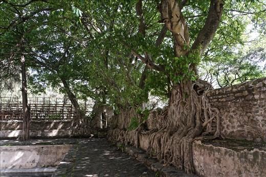 Banyan trees at King Fasilides Bath