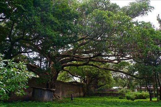Banyan tree at King Fasilides Bath