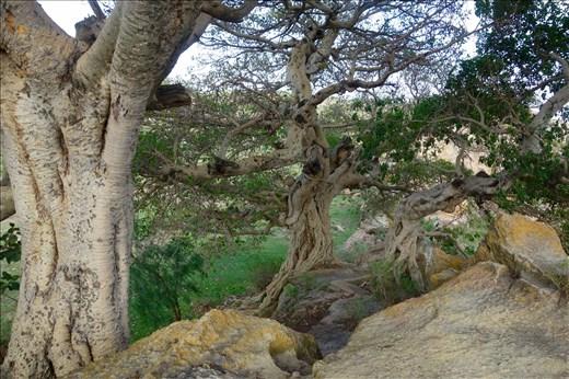 Banyan trees Gerhalta Lodge
