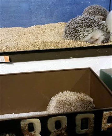Hedgehog cafe!