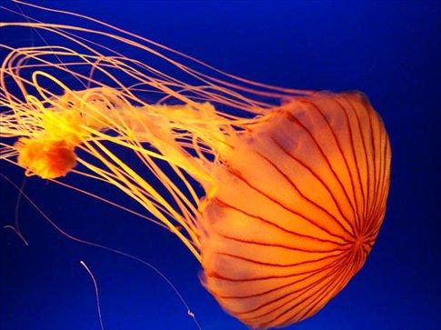 Jellyfish at the Kaiyukan.
