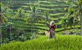 The rice terraces near Ubud, Bali are something that needs to be seen. The fields are the most vibrant green. This lady paced back and forth loudly banging a stick and an old piece of perspex to scare away any birds. I loved the colours of her clothes against the green on the fields.: by kurst22, Views[2221]