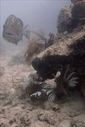 A large red grouper followed the divers the whole dive, begging for a handout of freshly speared lionfish. Lionfish often congregate in small groups, making them easier to find. : by kwall, Views[197]