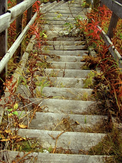 Overgrown Stairway: Alaska, September 2011: Fireweed overtakes a well worn stairway on Fishhook Road, across from the abandoned Motherload Lodge in the Talkeetna Mountains outside Palmer, AK.  Nearby a trail follows the Little Susitna river deep into Hatcher Pass giving access to the few remaining glaciers that long ago covered the area.