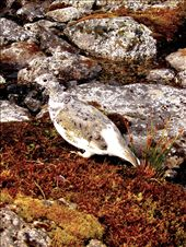 Ptarmigan Again: This social Ptarmigan unfazed by the sight of humans was sporting its seasonal  camouflage that matched perfect with the terrain. This, along with its family of 4 others would feed in the mornings behind the Mint Hut giving us a pleasant natural alarm.: by kwarden, Views[291]