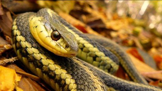A non-deadly garter snake aiming quite an unpredictable stare towards my macro lens.