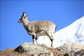 Bharal (blue mountain goats) : by laiju, Views[400]
