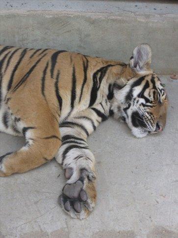 poor sedated tigers, honestly...